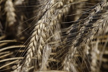 wheat grains closeup