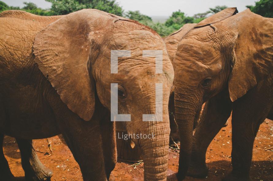 young elephants