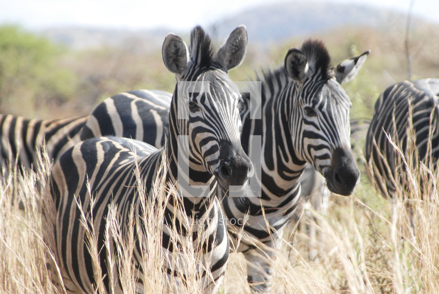 zebras with their distinctive black and white stripes