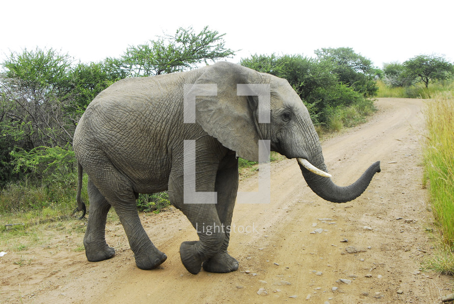 elephant crossing a dirt road