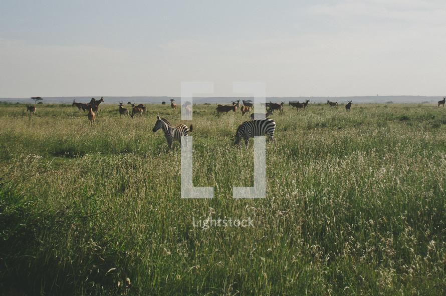 Zebras grazing in a field