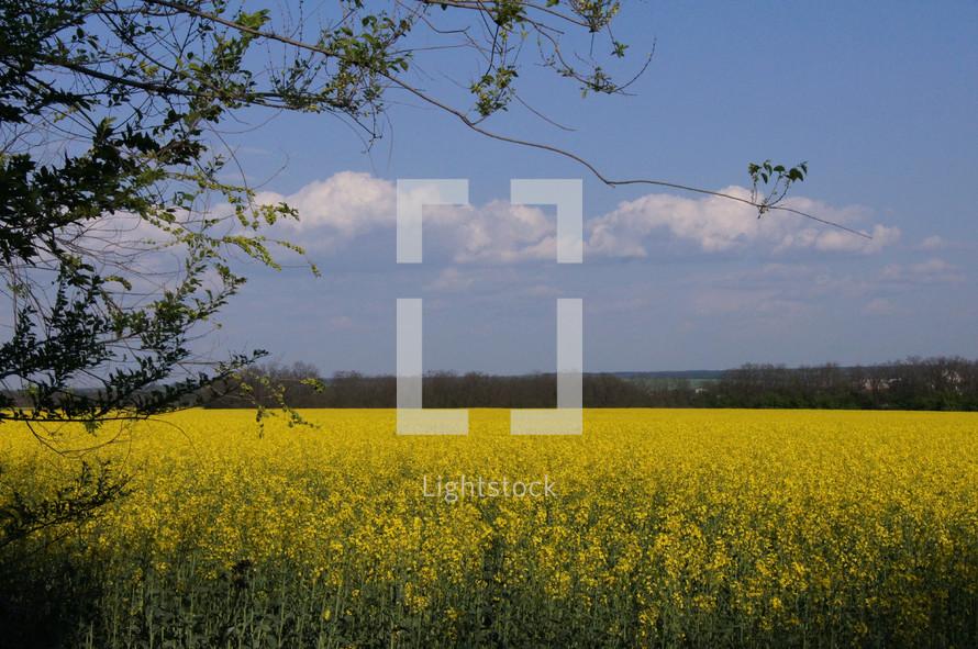Farmers Field - yellow Rape oil seed (or Canola) flowers