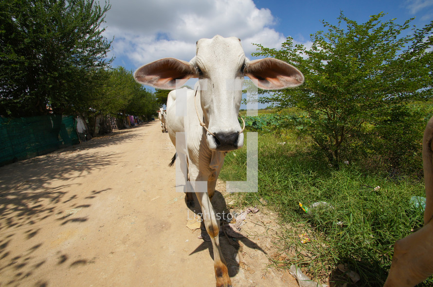 Close up of a cow walking along a path