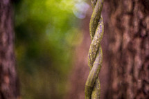 A twisting vine hanging from a tree.