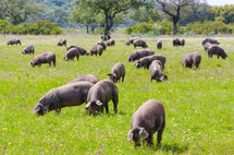 hogs in a pasture