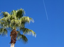 Palm tree in a cobalt blue sky as an airplane streaks through the sky.