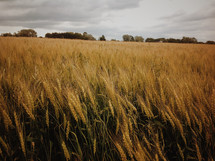 waves of wheat