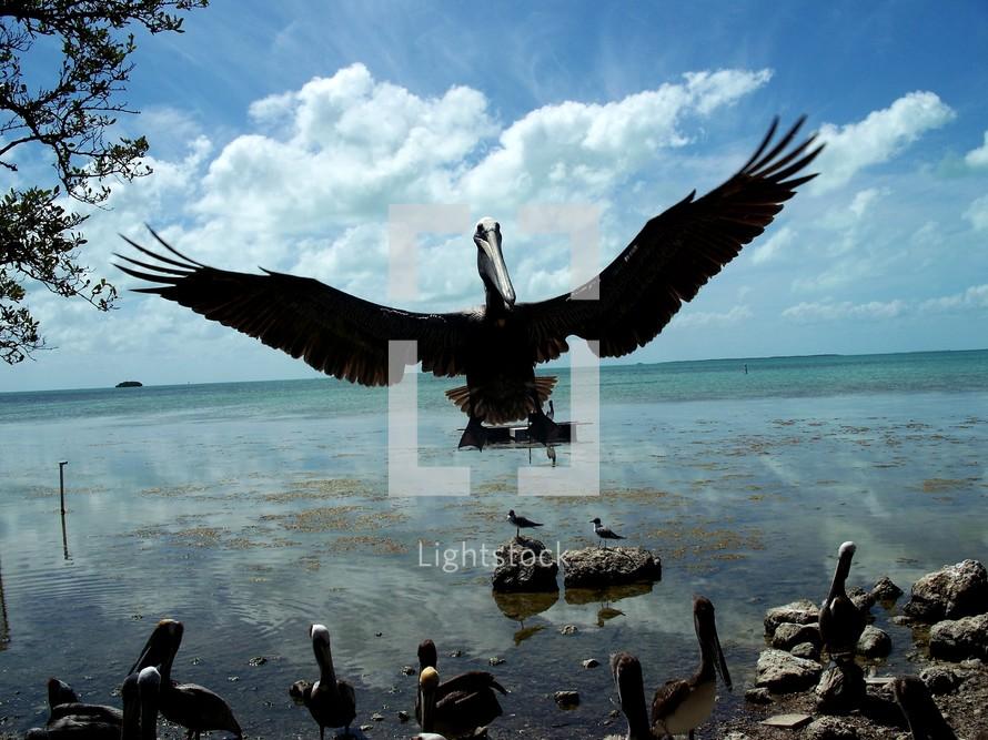 Pelican bird in flight off the coast of the ocean.