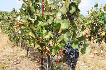 Vineyard in Greece with grapes ripe and ready for harvest