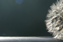 closeup of dandelion seeds