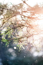 pine tree and sunlight in falling snow