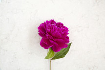 single stem with fuchsia flower