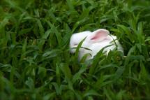 Cute white rabbit sleeping in green grass.