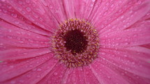 close-up of a pink gerber daisy