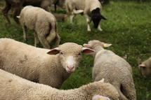 sheep and lambs in a flock