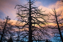 bare trees at sunset