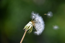 spreading out dandelion – blowball with flying seeds,  