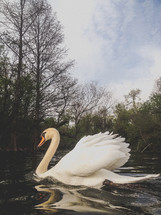 elegant white swan on the water
