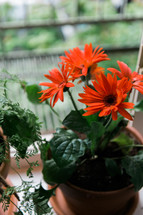 potted gerber daisy in a window sill