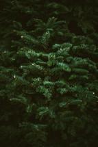 Limbs of a Christmas tree