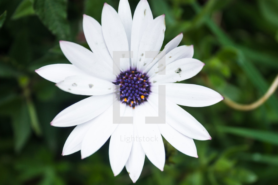 White flower with purple center