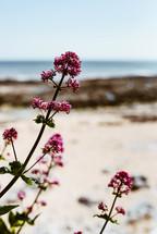 pink flowers near a beach