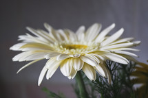 white gerber daisy in a flower arrangement