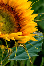 A bright, yellow sunflower