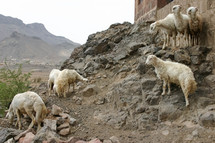 flock of sheep in Yemen