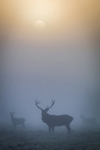 A majestic stag stands guard over the herd as the sun rises through the mist