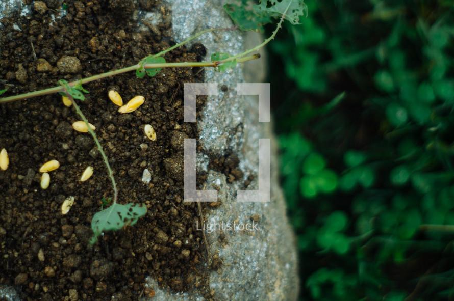 seeds in soil