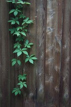 vines growing on a fence