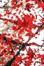 brightly colored red leaves