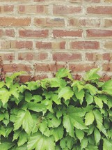 ivy and a brick wall