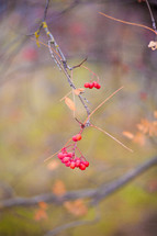 Winter berries on a branch