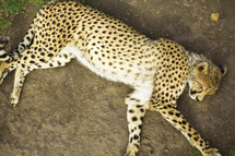 Sleeping cheetah