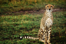 Cheetah waiting to move