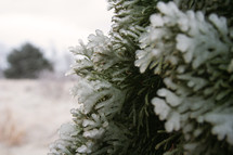 ice on a bush