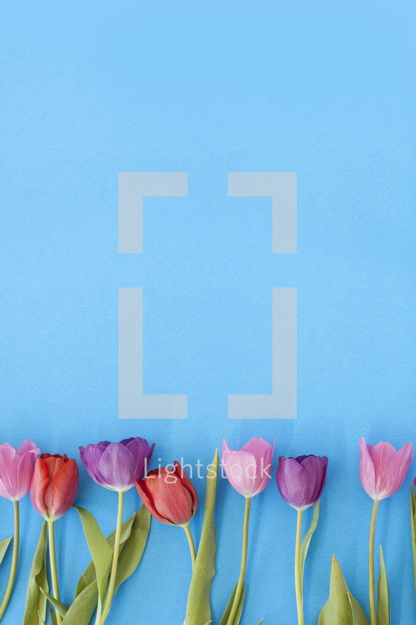 Blooming tulips in a row on a blue background.