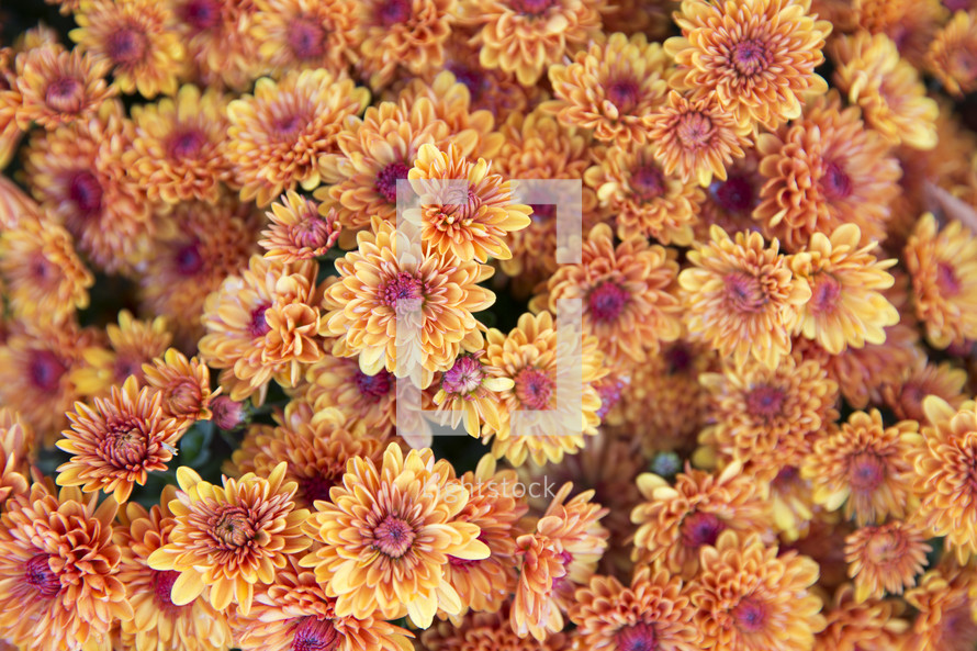 background of yellow mums