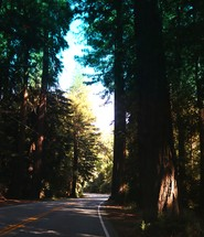 tall trees lining a rural road