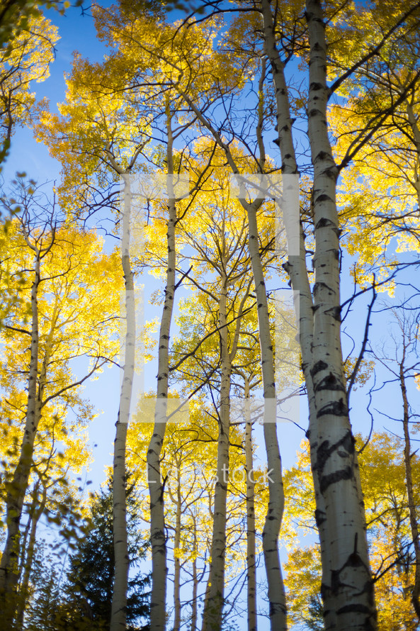 yellow fall trees