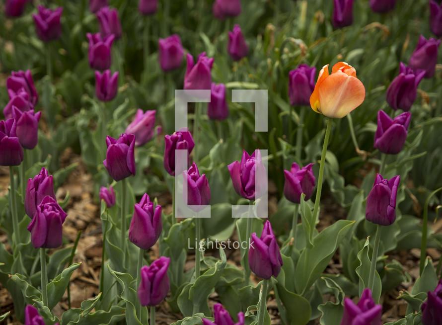 single orange tulips among a field of purple tulips