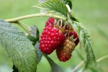 Raspberry on a vine.