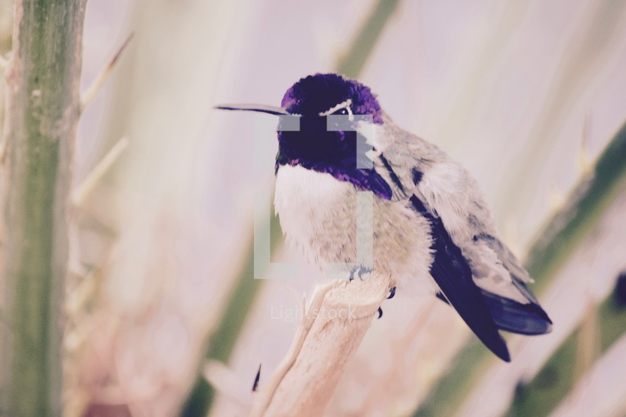 perched male Costas hummingbird