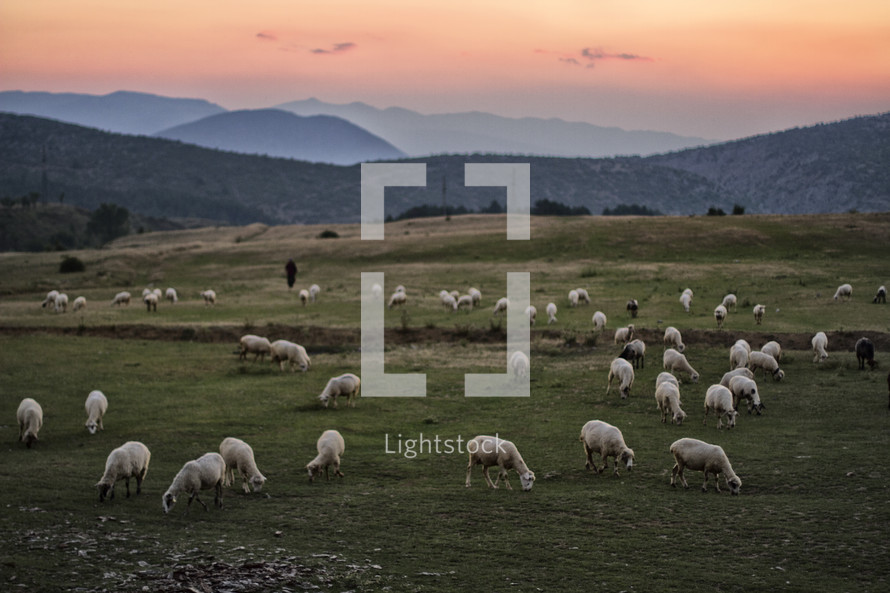 Herd of sheep grazing in a pasture.