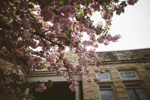 pink spring blossoms in front of a school
