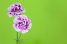 purple carnations against a green background