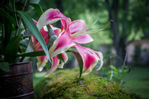 lilies outdoors