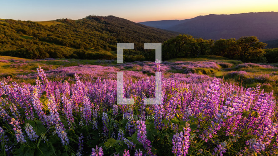 Lupine Fields at sunset